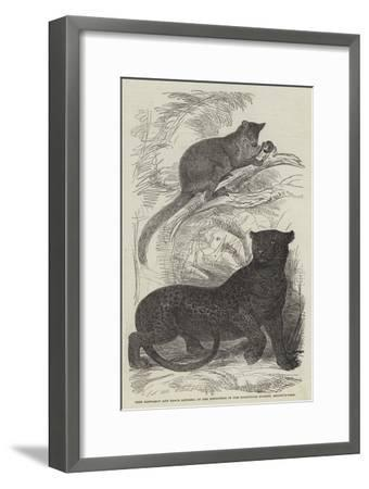 Tree Kangaroo and Black Leopard, in the Menagerie of the Zoological Society, Regent'S-Park--Framed Giclee Print
