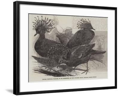 Goura Victoria Pigeons, to Be Exhibited at the Poultry Show, Bazaar, Baker-Street--Framed Giclee Print
