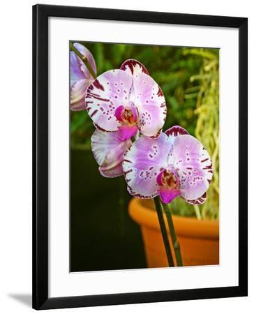 New Orchid Phalaenopsis 'Diamond Sky' on Display at the Kew Orchid Festival, Kew Gardens, London--Framed Photographic Print