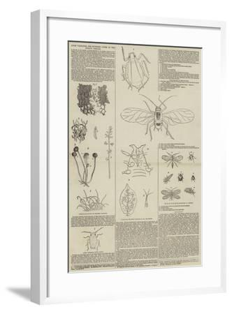 Aphis Vastator, the Supposed Cause of the Potato Disease--Framed Giclee Print