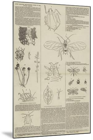 Aphis Vastator, the Supposed Cause of the Potato Disease--Mounted Giclee Print