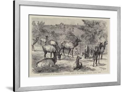 Imported American Elk, Wapiti, at Osmaston Manor, Derby--Framed Giclee Print