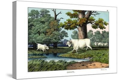 Wild Cattle of Britain, 1860--Stretched Canvas Print