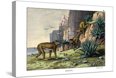 Barbary Ape, 1860--Stretched Canvas Print