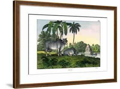 Zebu, 1860--Framed Giclee Print