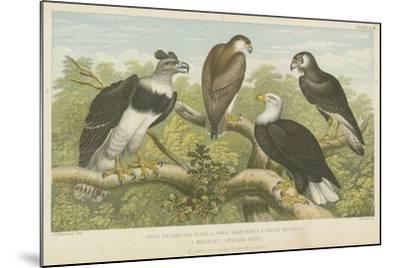 Eagles--Mounted Giclee Print