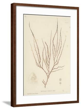 British Sea-Weed--Framed Giclee Print
