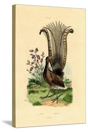 Superb Lyrebird, 1833-39--Stretched Canvas Print