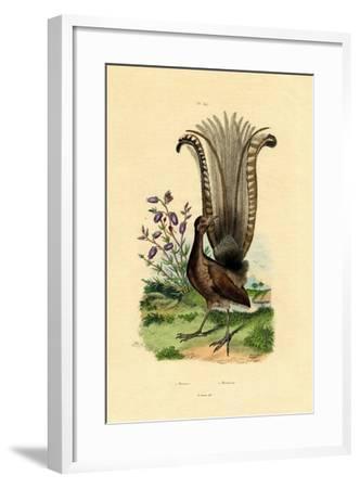 Superb Lyrebird, 1833-39--Framed Giclee Print