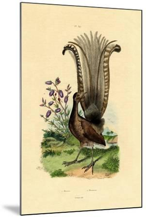 Superb Lyrebird, 1833-39--Mounted Giclee Print