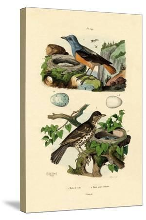 Roufus-Tailed Rock-Thrush, 1833-39--Stretched Canvas Print
