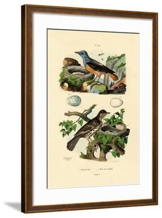 Roufus-Tailed Rock-Thrush, 1833-39--Framed Giclee Print
