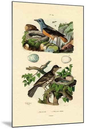 Roufus-Tailed Rock-Thrush, 1833-39--Mounted Giclee Print