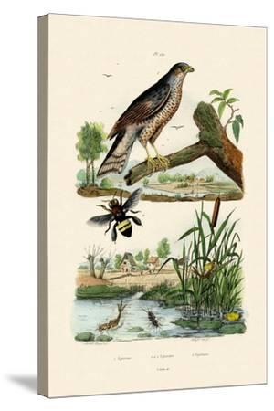 Eurasian Sparrowhawk, 1833-39--Stretched Canvas Print
