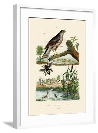 Eurasian Sparrowhawk, 1833-39--Framed Giclee Print