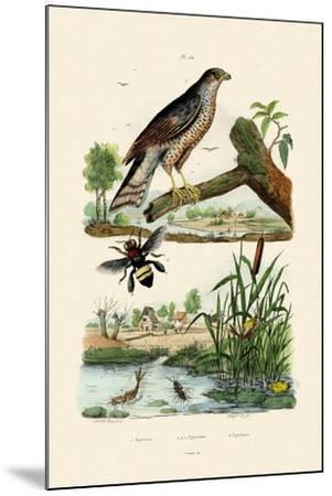 Eurasian Sparrowhawk, 1833-39--Mounted Giclee Print