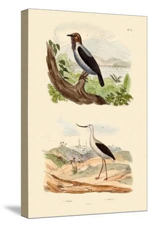 Bearded Bellbird, 1833-39--Stretched Canvas Print