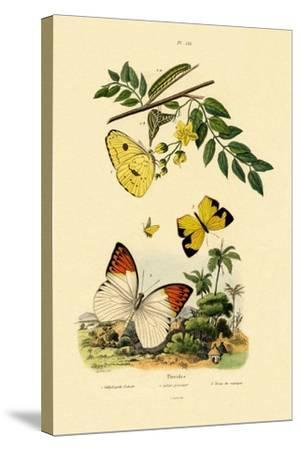 Cloudless Sulphur, 1833-39--Stretched Canvas Print
