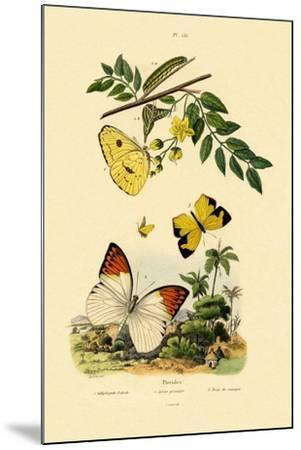 Cloudless Sulphur, 1833-39--Mounted Giclee Print