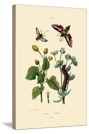 Privet Hawkmoth, 1833-39--Stretched Canvas Print