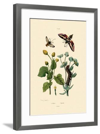 Privet Hawkmoth, 1833-39--Framed Giclee Print