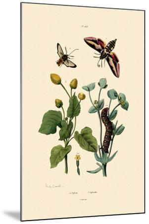 Privet Hawkmoth, 1833-39--Mounted Giclee Print