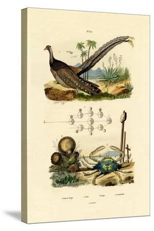 Argus Pheasant, 1833-39--Stretched Canvas Print