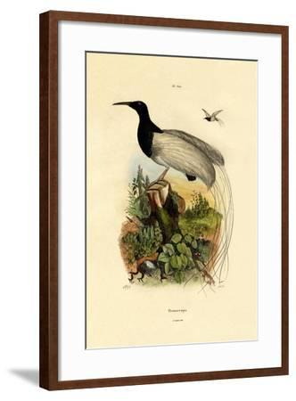 Cape Sugarbird, 1833-39--Framed Giclee Print