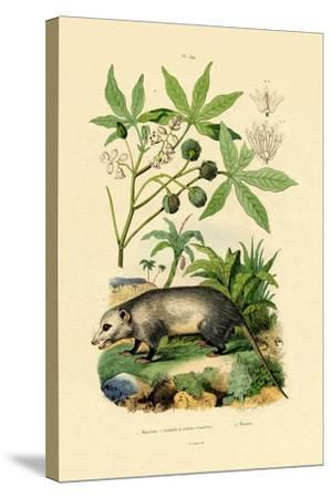 Common Opossum, 1833-39--Stretched Canvas Print