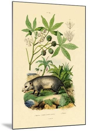 Common Opossum, 1833-39--Mounted Giclee Print