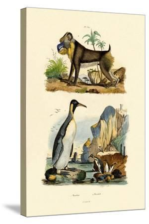 King Penguin, 1833-39--Stretched Canvas Print