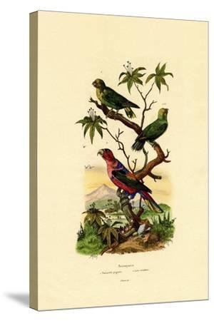 Pygmy Parrot, 1833-39--Stretched Canvas Print