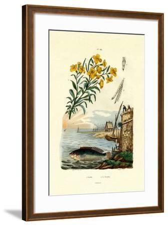 Rainbow Wrasse, 1833-39--Framed Giclee Print