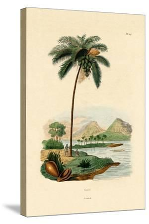 Coconut Palm, 1833-39--Stretched Canvas Print