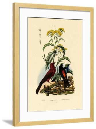 Common Tansy, 1833-39--Framed Giclee Print
