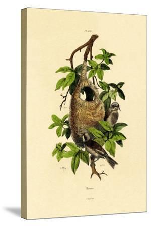 Penduline Tit, 1833-39--Stretched Canvas Print