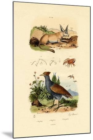 Bat-Eared Fox, 1833-39--Mounted Giclee Print