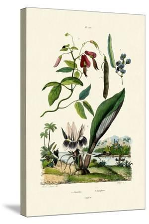 Galangal, 1833-39--Stretched Canvas Print