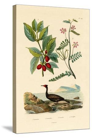 Cormorant, 1833-39--Stretched Canvas Print