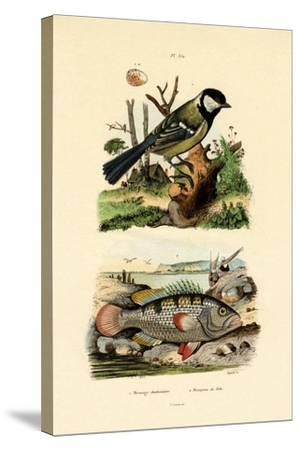Great Tit, 1833-39--Stretched Canvas Print