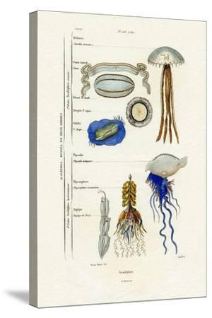 Jellyfish, 1833-39--Stretched Canvas Print