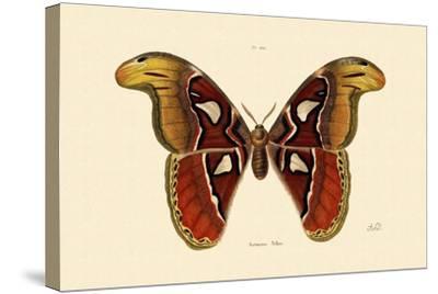 Atlas Moth, 1833-39--Stretched Canvas Print
