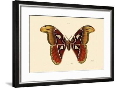 Atlas Moth, 1833-39--Framed Giclee Print