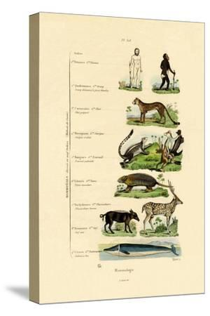 Mammalogy, 1833-39--Stretched Canvas Print