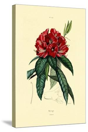 Snow Rose, 1833-39--Stretched Canvas Print