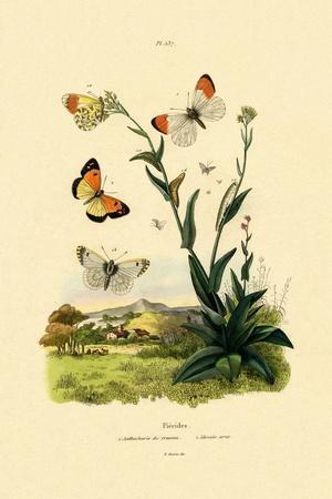 Orange Tip, 1833-39--Framed Giclee Print