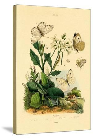 Large White, 1833-39--Stretched Canvas Print