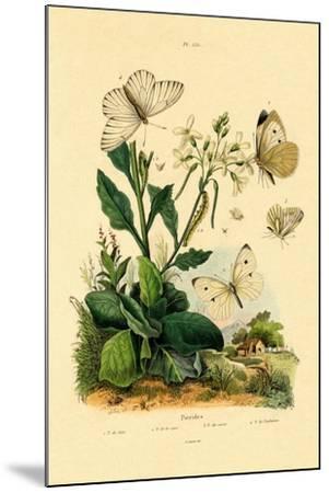 Large White, 1833-39--Mounted Giclee Print
