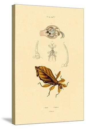 Leaf Insect, 1833-39--Stretched Canvas Print