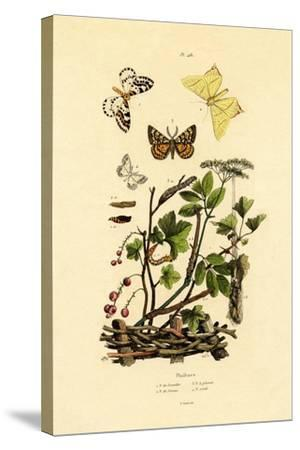 Magpie Moth, 1833-39--Stretched Canvas Print